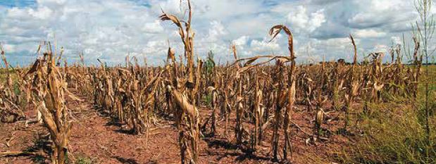 Drought stricken corn. Image Credit: USDA, Bob Nichols