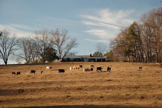 Cattle in a field: Image Credit: Let Ideas Compete, via Flickr CC BY-NC-ND 2.0